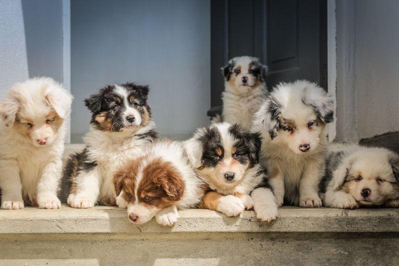 犬種に特化したブリーダー